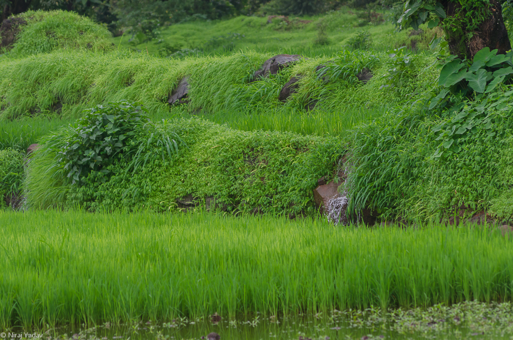 rice farming in raigad