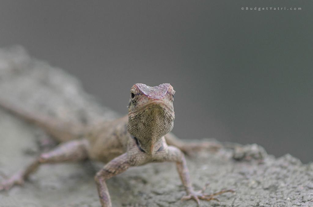chameleon-in-raigad-sahyadri