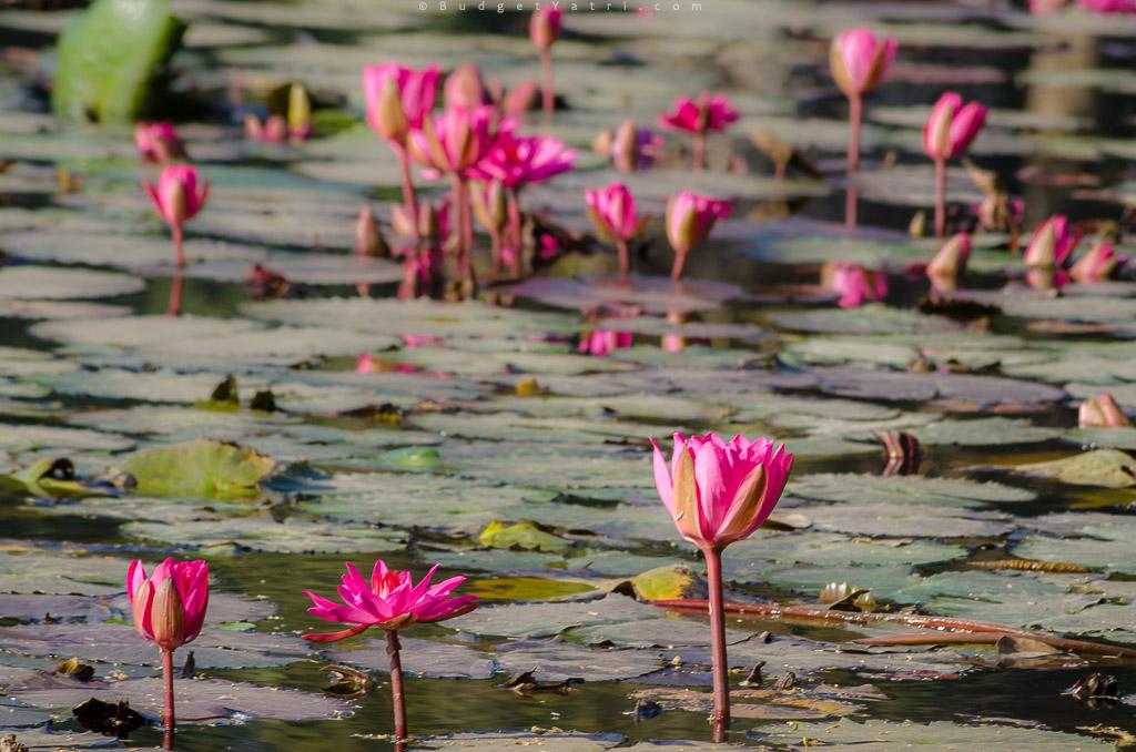 lotus flowers, khariya talav, bordi village