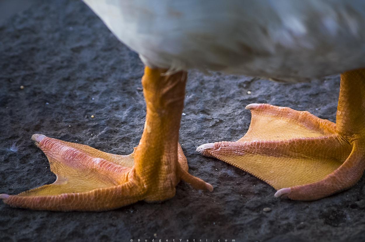 Duck Feet photo