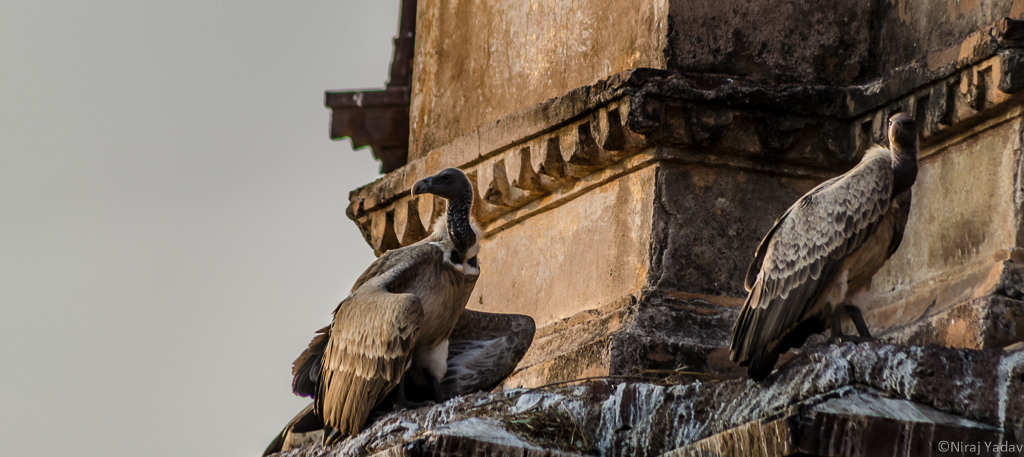 Long billed vulture in India